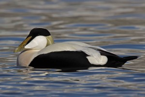 Eider male Seahouses  Feb 2010 - C Barlow