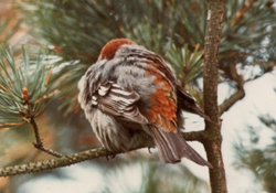 Pine-Grosbeak-1975-Bird-Notes-NTBC
