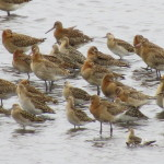 East Chevington, AS Jack, September. Ruff with Black tailed Godwits.