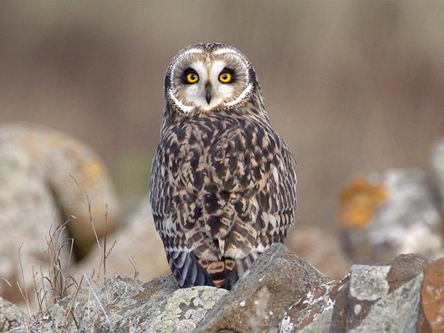 short-eared-owl-bohi-2016