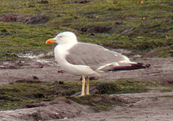 Yellow-legged-Gull