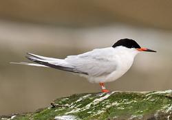 Roseate-Tern