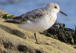 Sanderling-5-AJ-08-14-St-Marys-Bird-Notes